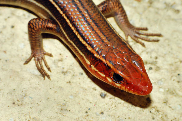 Photograph - Skink by Larah McElroy