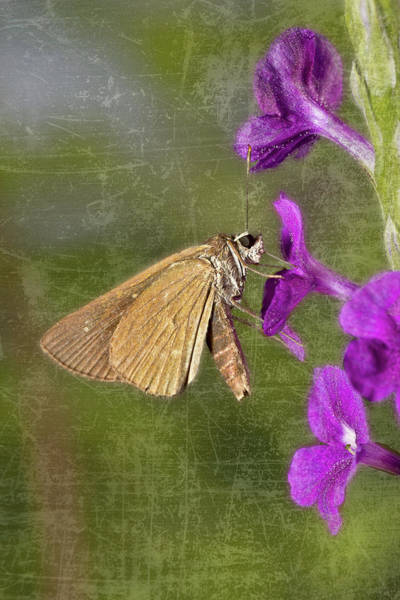Photograph - Skipper Butterly Sipping Nectar by Roberto Aloi