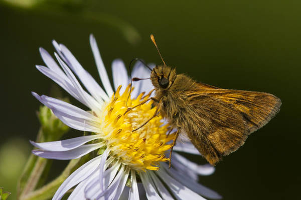 Photograph - Skipper On Aster by Robert Potts