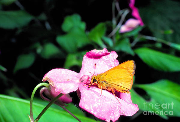 Photograph - Skipper On Impatiens by Thomas R Fletcher