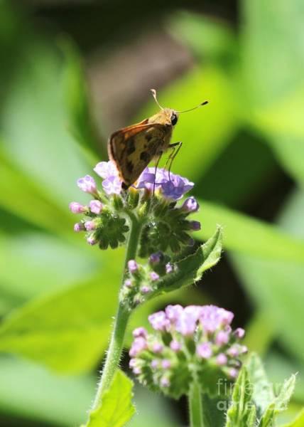 Photograph - Skipper On Purple Fiddleneck by Carol Groenen