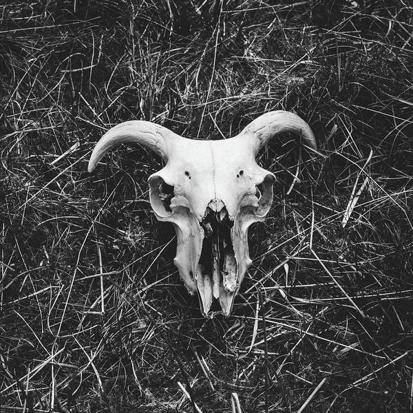 Black Sheep Photograph - Skull by Chris Dale