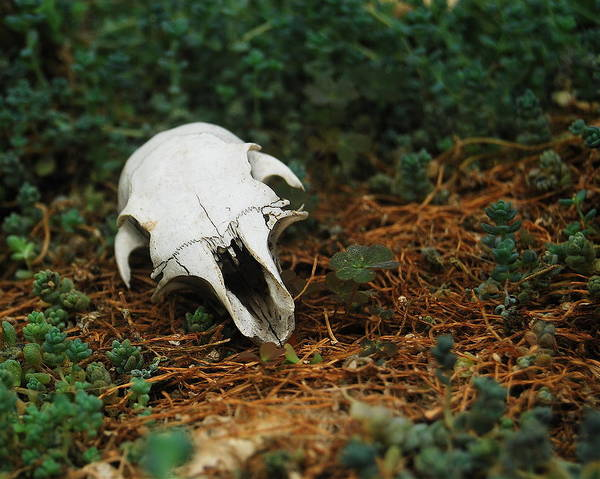 Belle Isle Photograph - Skull by Michael Peychich
