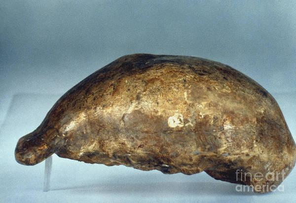 Photograph - Skull Of Java Man by Granger