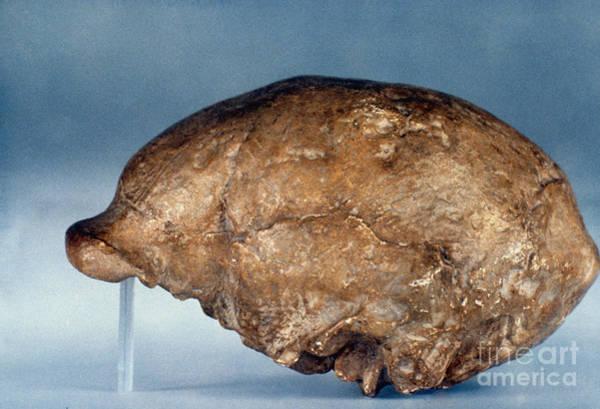 Photograph - Skull Of Peking Man by Granger
