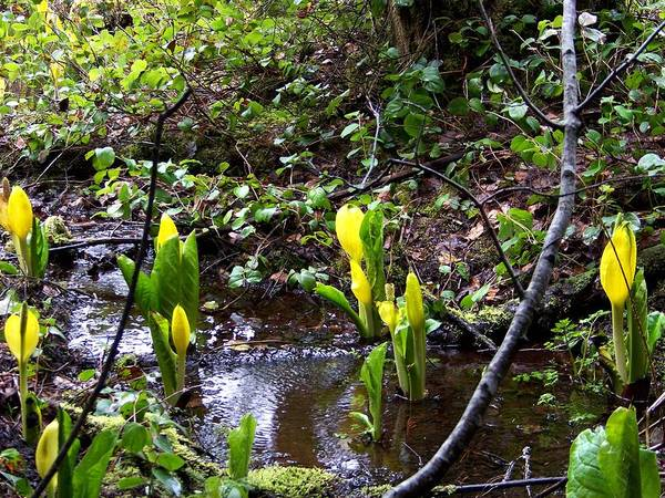 Photograph - Skunk Cabbage by Charles Robinson
