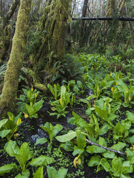 Photograph - Skunk Cabbage Patch by Robert Potts