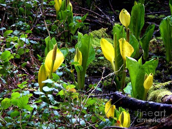 Photograph - Skunk Cabbage Two by Charles Robinson