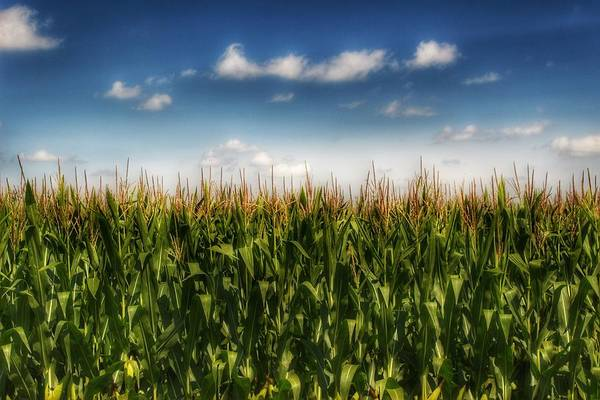 Photograph - 2005 - Sky High Corn by Sheryl Sutter