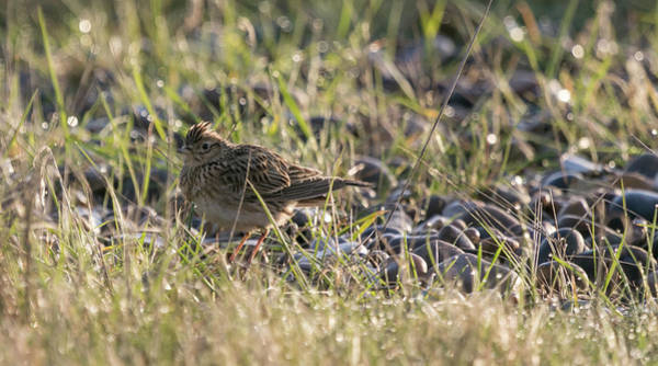 Photograph - Skylark In The Diamonds by Wendy Cooper