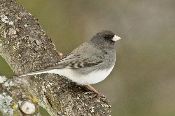 Wall Art - Photograph - Slate-colored Dark-eyed Junco 3097 by Michael Peychich