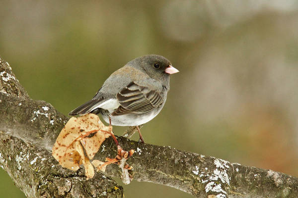 Wall Art - Photograph - Slate-colored Dark-eyed Junco 3121 by Michael Peychich