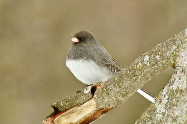Wall Art - Photograph - Slate-colored Dark-eyed Junco 3126 by Michael Peychich