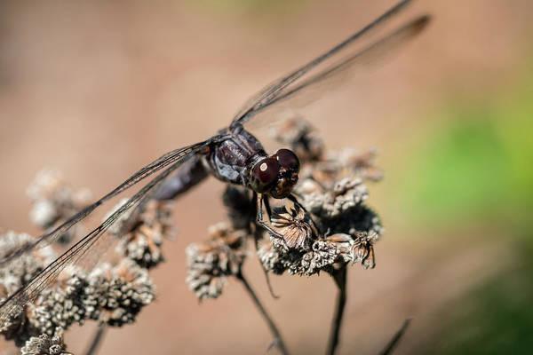 Photograph - Slaty Skimmer Watching You by Liza Eckardt