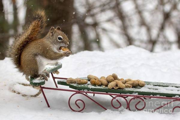 Photograph - Sled Squirrel by Karin Pinkham