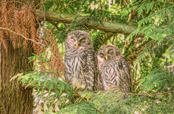 Barred Owl Photograph - Sleeping Barred Owlets by Jennie Marie Schell