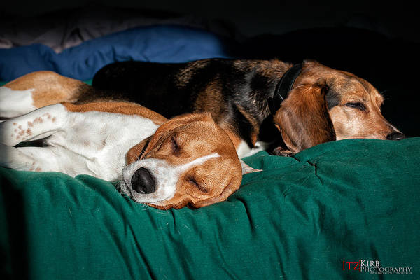Photograph - Sleeping Beagles by ItzKirb Photography