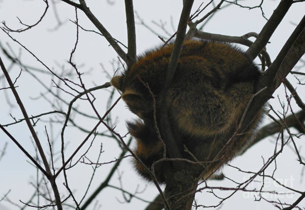 Photograph - Sleeping Coon by Randy Bodkins