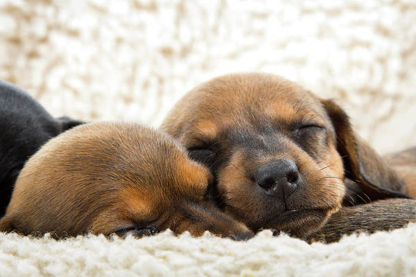 Photograph - Sleeping Dachshund Puppies by SR Green