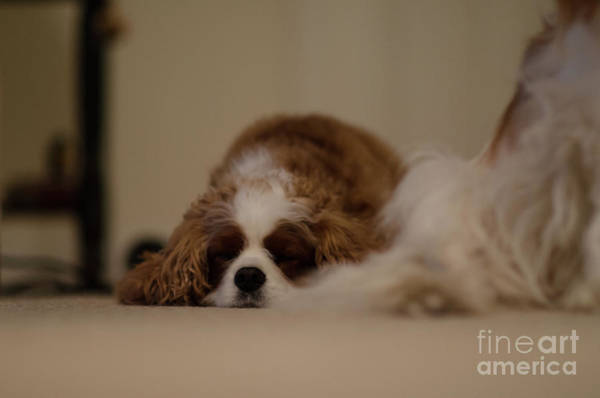 Photograph - Sleeping Dog by Dale Powell