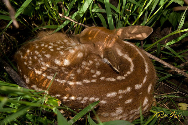 Photograph - Sleeping Fawn by Rikk Flohr