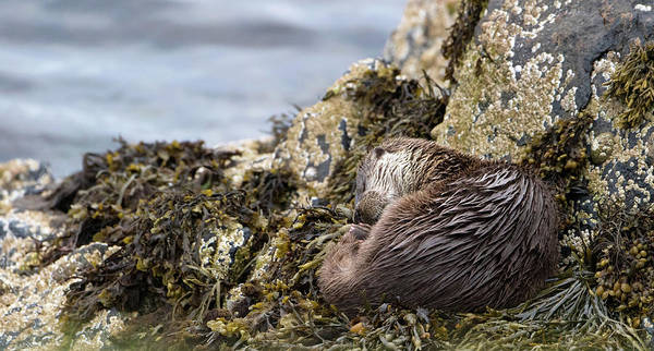 Photograph - Sleeping Otter by Peter Walkden