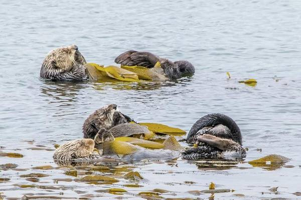 Aonyx Cinerea Photograph - Sleeping Otters by Eric Strickland