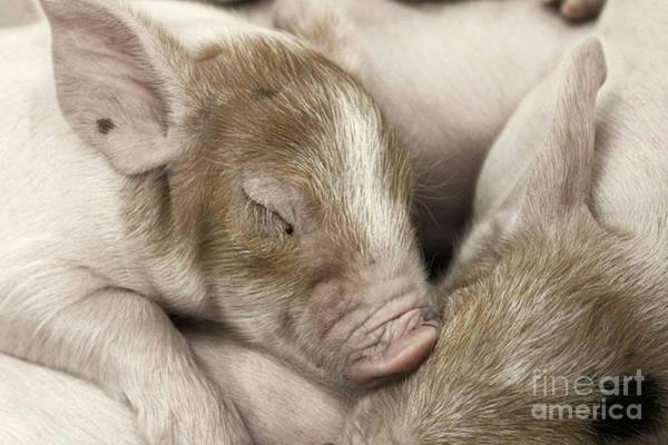 Photograph - Sleeping Piglet by Brad Allen Fine Art