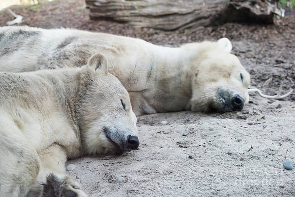 Polar Bear Photograph - Sleeping Polar Bears by Michael Ver Sprill