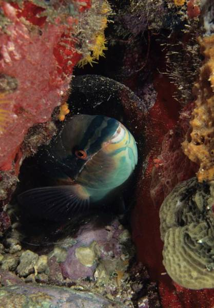 Photograph - Sleeping Princess Parrotfish In Cocoon by Don Kreuter