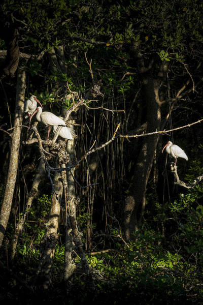 White Ibis Wall Art - Photograph - Sleeping Quarters by Marvin Spates