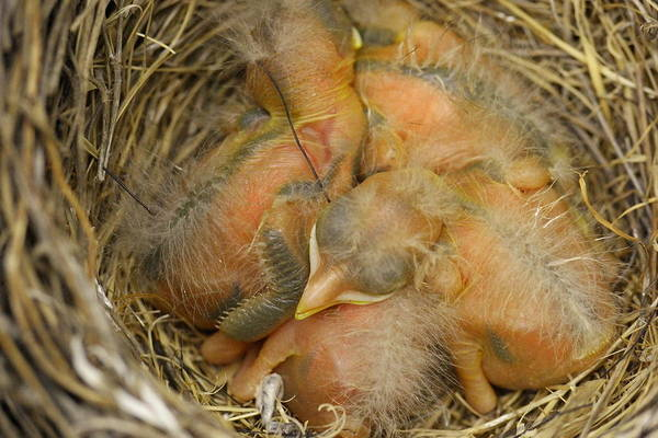 Little Things Photograph - Sleeping Robins by Jeff Swan