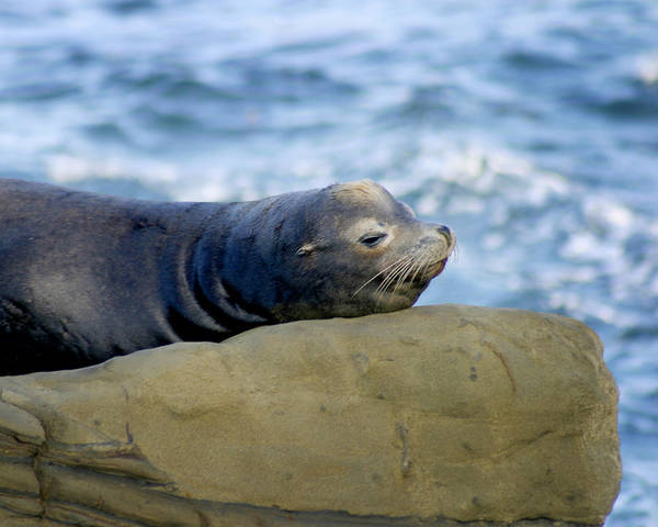 Photograph - Sleeping Sea Lion by Anthony Jones
