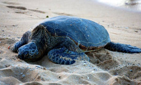 Photograph - Sleeping Turtle by Anthony Jones