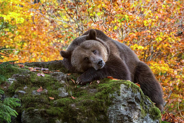 Photograph - Sleepy Brown Bear by Arterra Picture Library