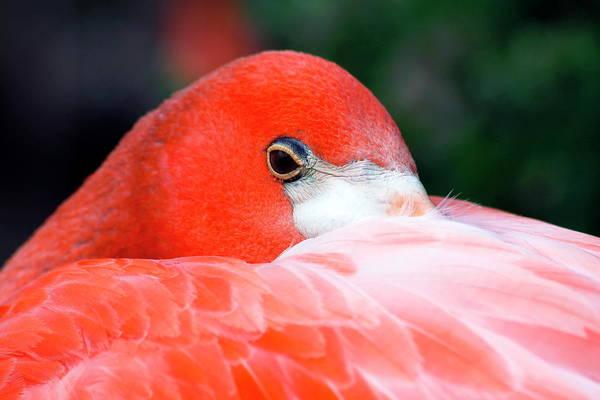 Nfs Photograph - Sleepy Flamingo by Daniel Caracappa