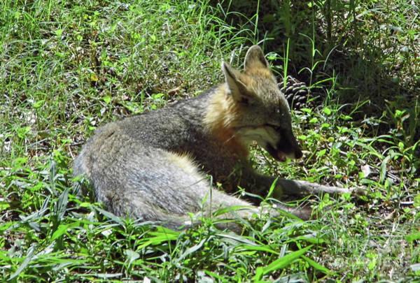 Photograph - Sleepy Fox by D Hackett