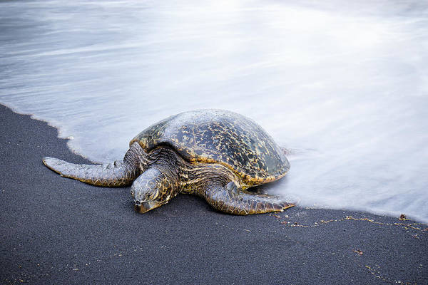 Sleepy Honu Art Print