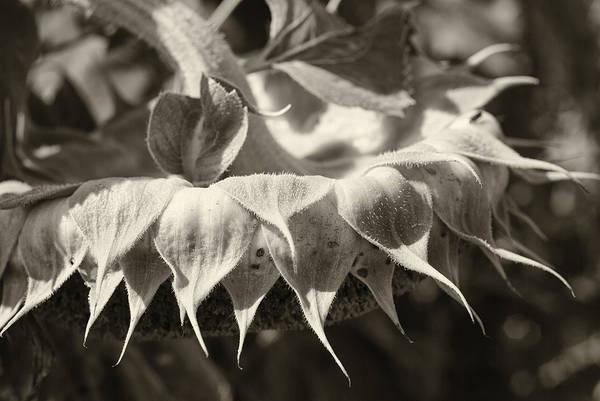Photograph - Sleepy In Sepia by Christi Kraft