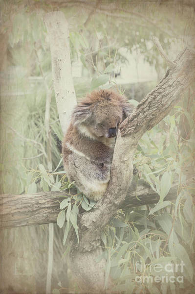 Photograph - Sleepy Koala by Elaine Teague