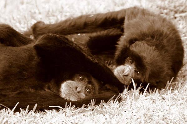 Photograph - Sleepy Monkeys by Brad Scott