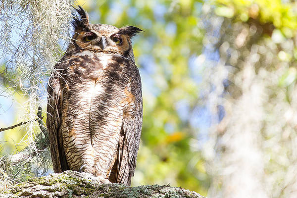 Wall Art - Photograph - Sleepy Mother Owl In The Morning Sun - Texas by Ellie Teramoto