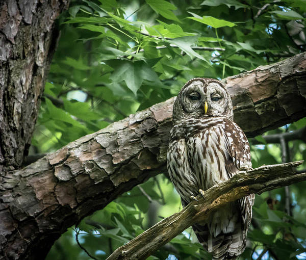 Wall Art - Photograph - Sleepy Owl by Linda Eszenyi