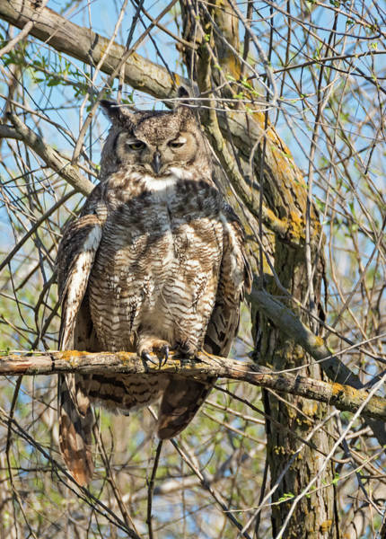 Photograph - Sleepy Owl by Loree Johnson