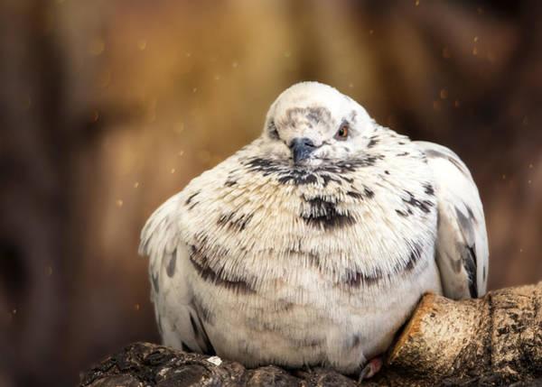Wall Art - Photograph - Sleepy Pigeon by Bill Tiepelman