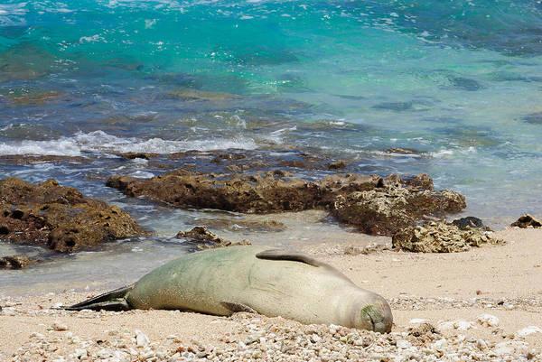 Kaena Photograph - Sleepy Seal by Megan Martens