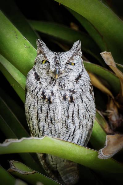 Screech Owl Photograph - Sleepy Time  by Saija Lehtonen