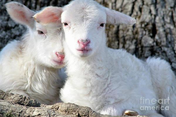 Photograph - Sleepy Twin Lambs by Thomas R Fletcher