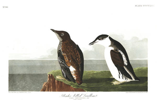 Wall Art - Painting - Slender Guillemot by John James Audubon