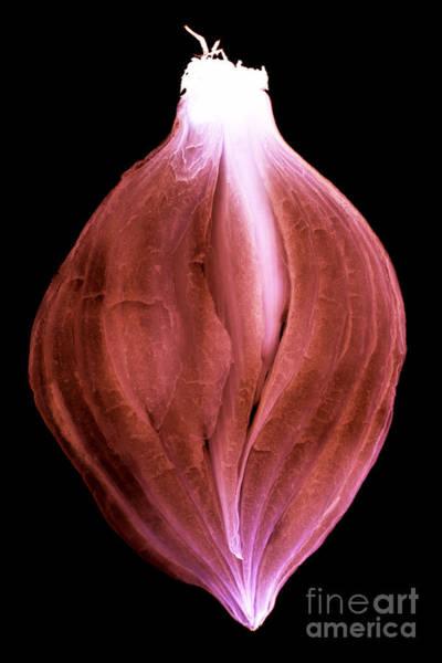 Photograph - Sliced Onion by Clayton Bastiani